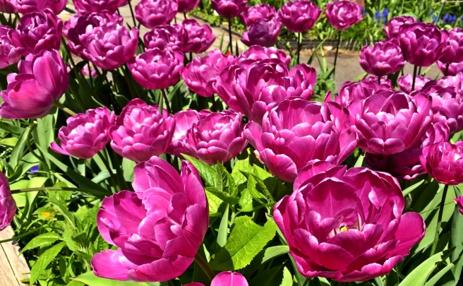 [Gorgeous tulips]